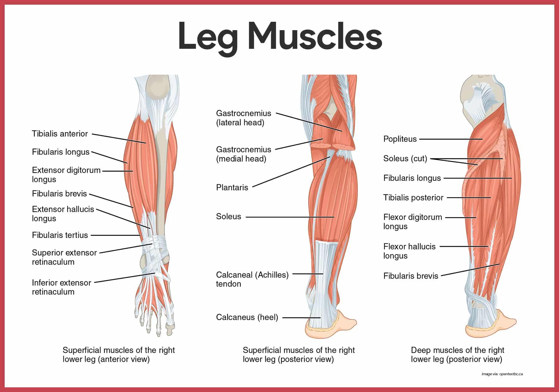 anatomy muscles Human