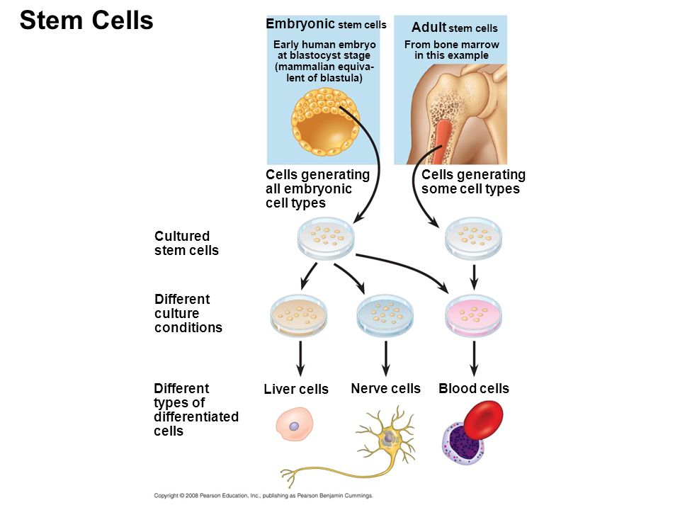 stem culture Adult cell